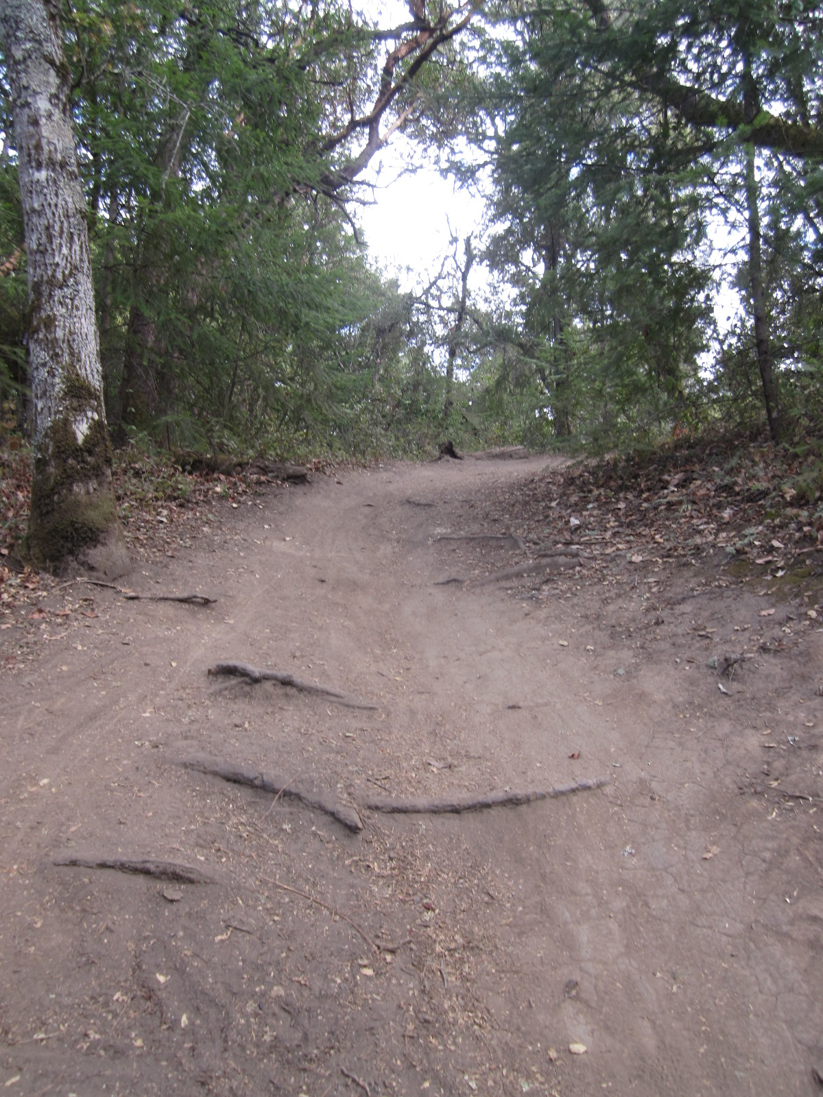 The obstacle course of tree roots that awaits the rider who bears left